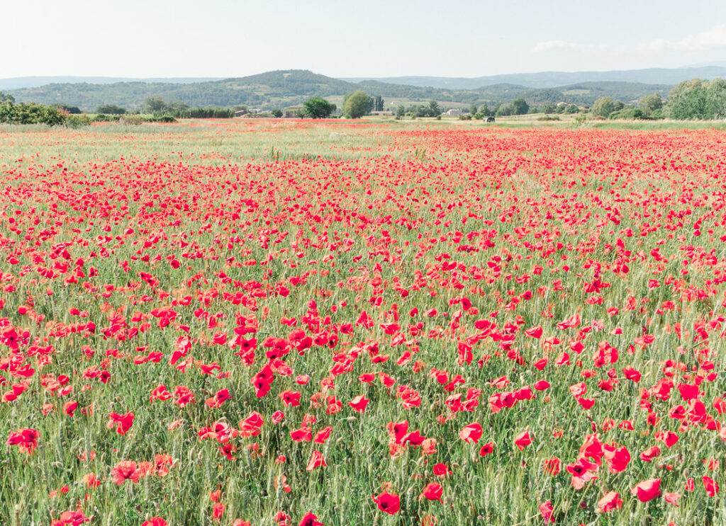 Poppy field in Provence in the South of France