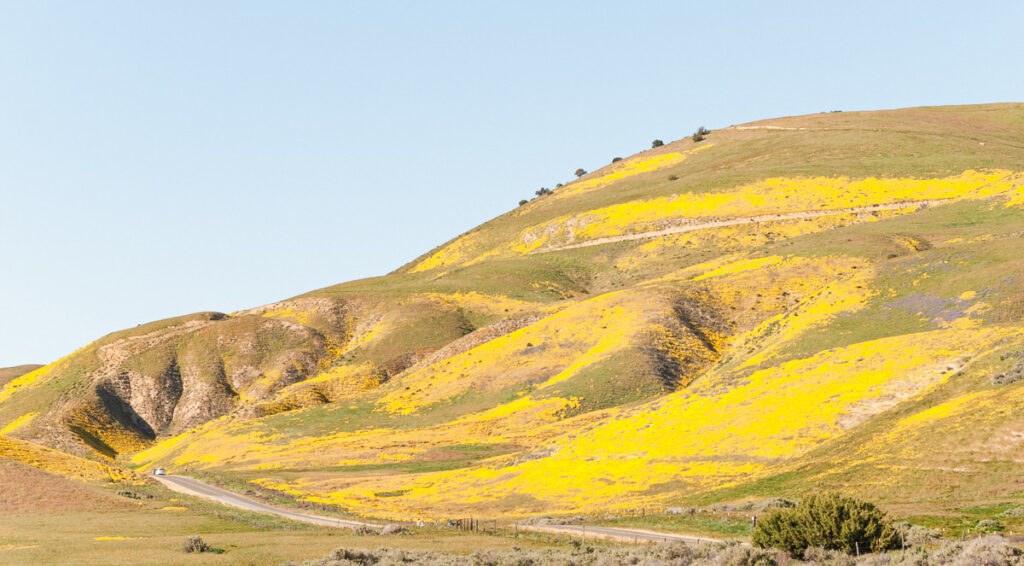 Hillside covered with yellow wildflowers at the Carrizo Plain