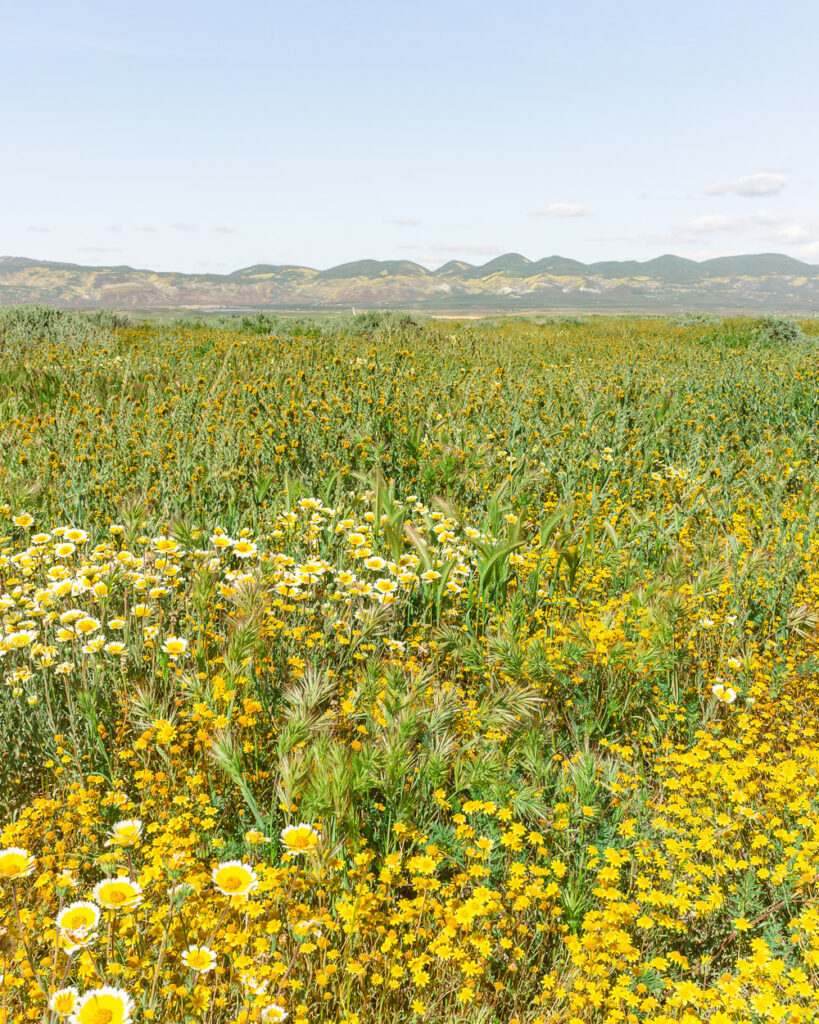 Yellow wildflowers at the Carrizo Plain