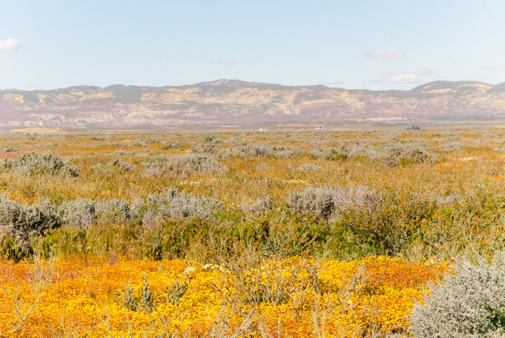 Yellow and orange wildflowers at the Carrizo Plain