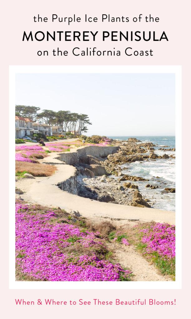 Monterey Peninsula's Purple Carpet of Ice Plants on the California Coast, best seen in Pacific Grove.