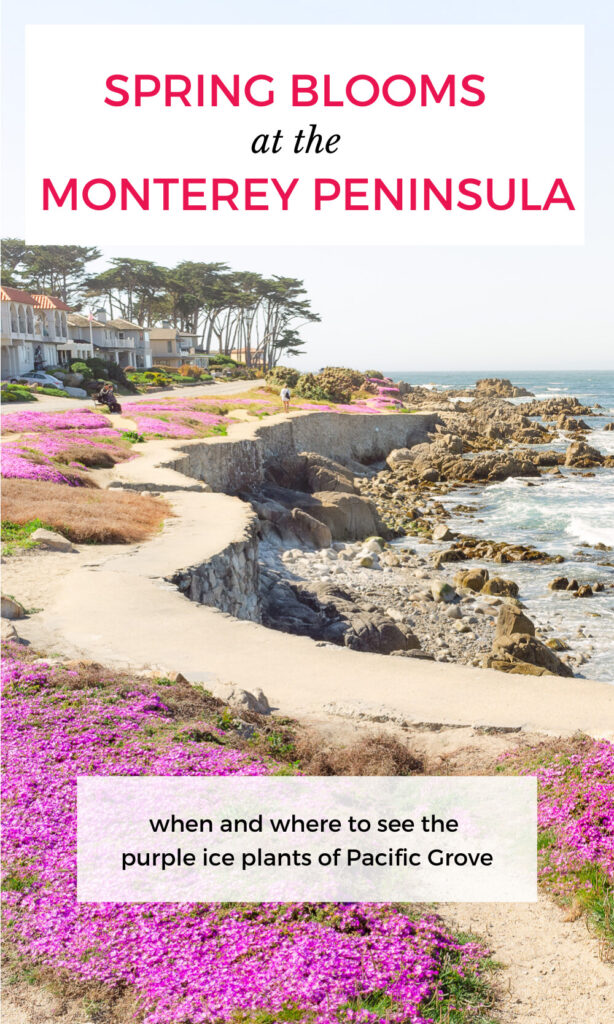 When and where to see Monterey Peninsula's Purple Carpet of Ice Plant Flowers