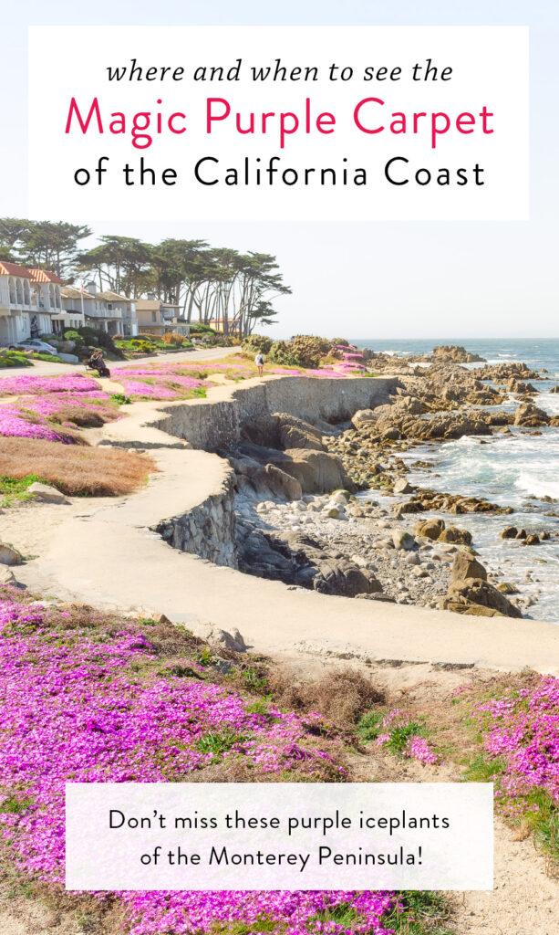 Monterey Peninsula's Magic Purple Carpet of Ice Plants on the California Coast, best seen in Pacific Grove.