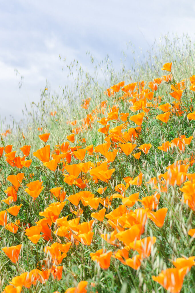 Poppy Fields at Mt Diablo State Park in the San Francisco Bay Area in Northern California