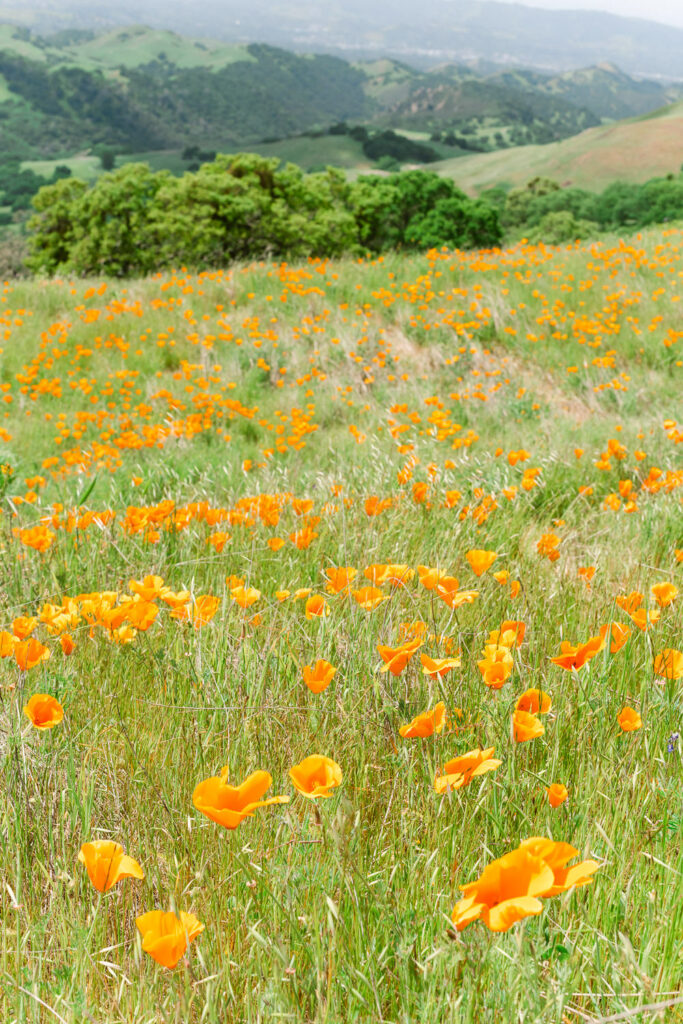 Spring scenery at Mt Diablo State Park with poppies and wildflowers in the San Francisco East Bay in Northern California
