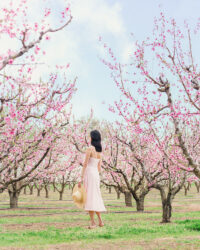 Spring Peach Orchard Blossoms in San Francisco Bay Area California