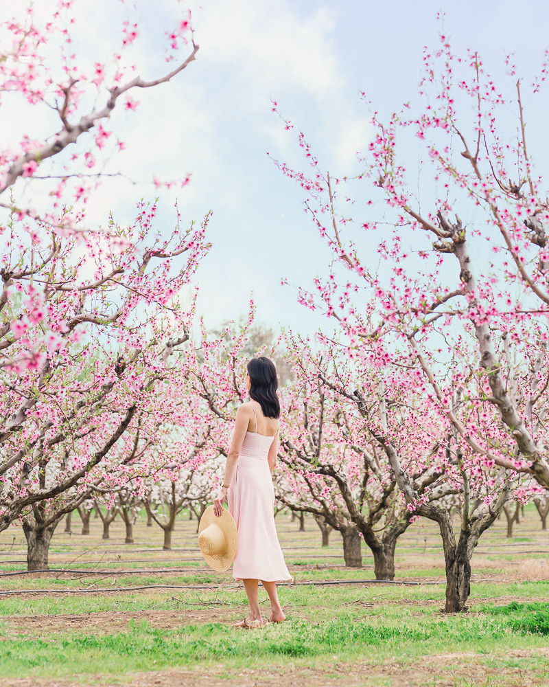 Springtime Peach Blossoms in the Bay Area
