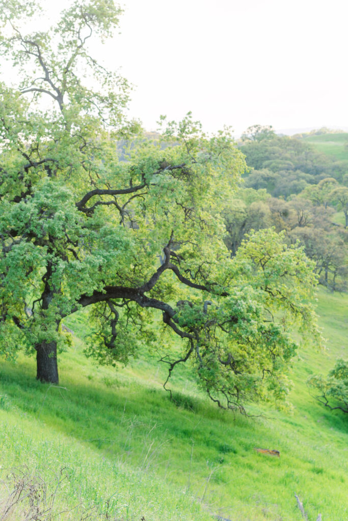 Spring scene of greenery and trees at Mt Diablo State Park in the San Francisco East Bay in Northern California