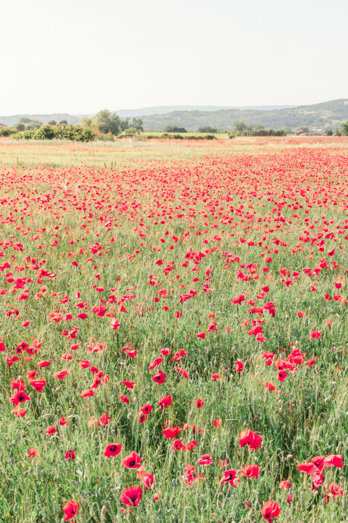 Red poppy fields in the Springtime in Provence in the South of France