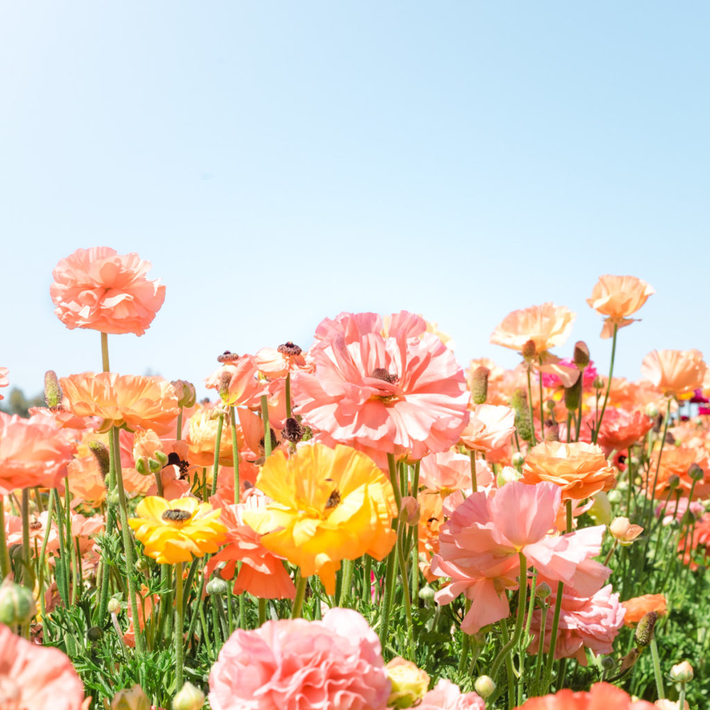 Flower photography at The Flower Fields in Carlsbad California