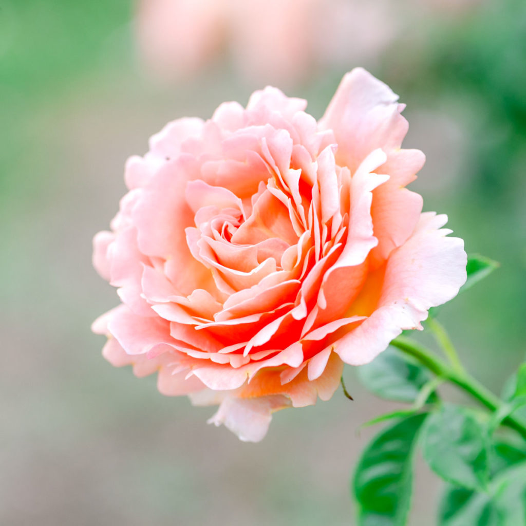 Flower Photography - Roses