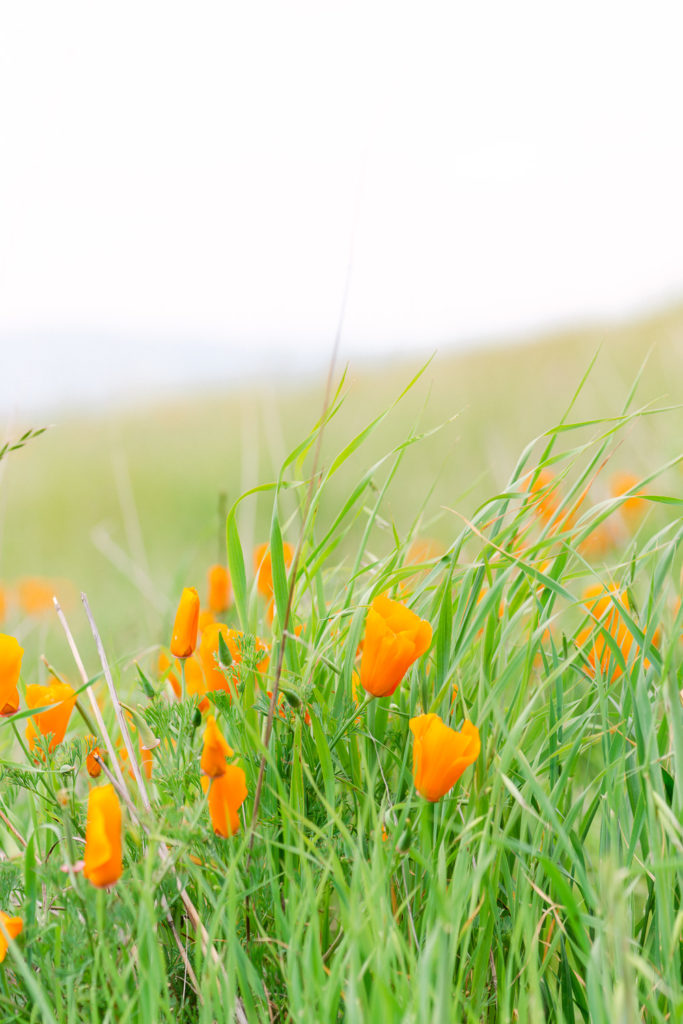 Flower photography at Mt Diablo State Park in Northern California