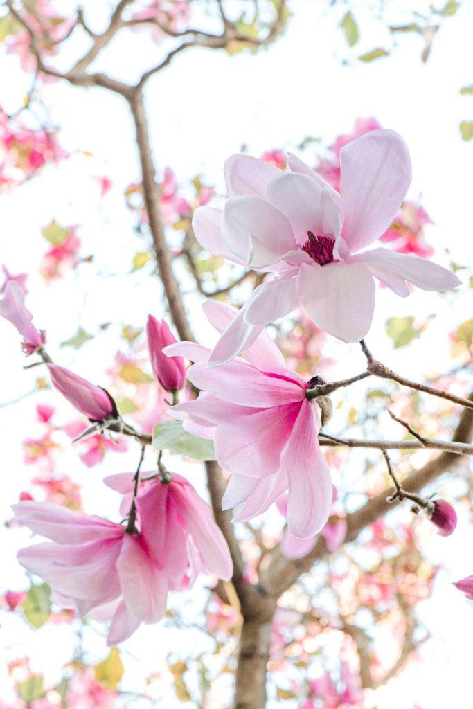 Flower Photography - Magnolias at the San Francisco Botanical Garden
