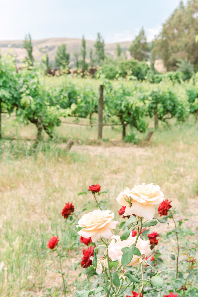 Sonoma Vineyard with Beautiful Rose Garden