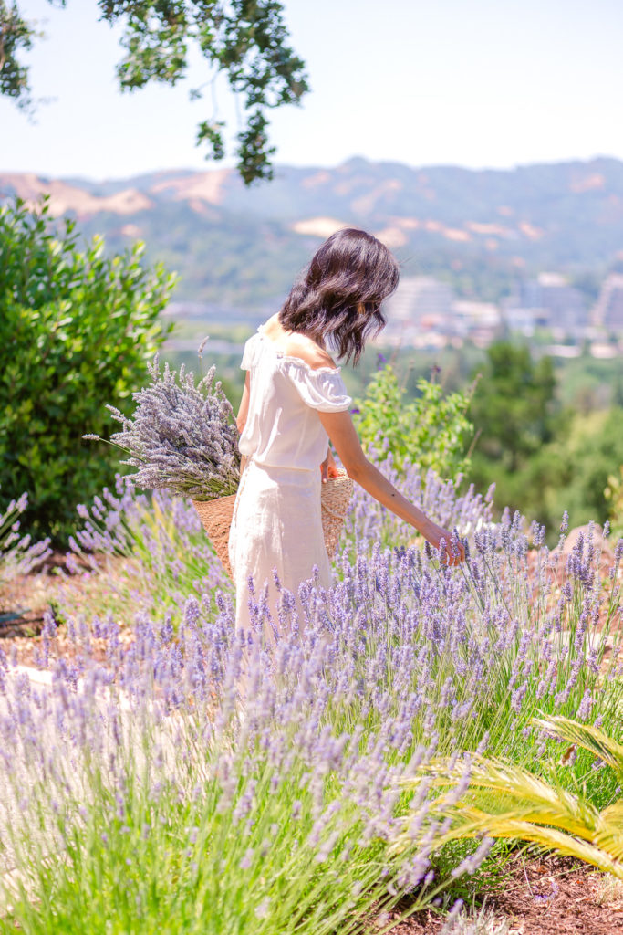 Harvesting garden lavender - How to Harvest and Dry Lavender