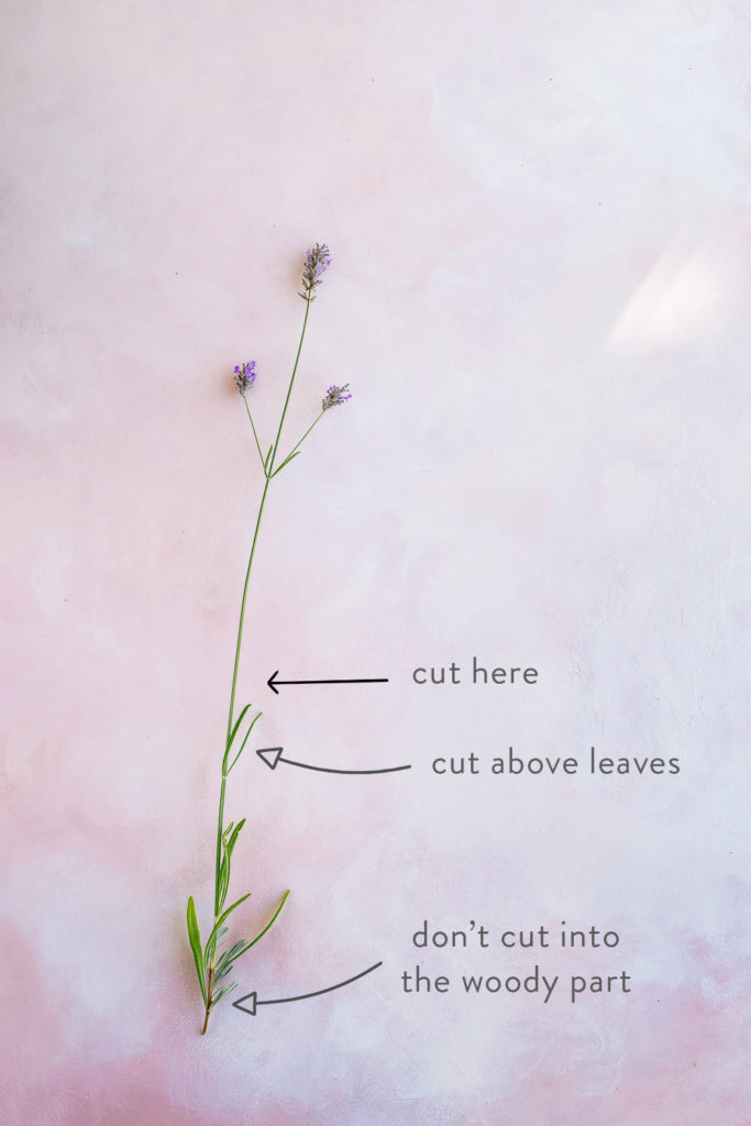 Where to cut lavender stems - How to Harvest and Dry Lavender