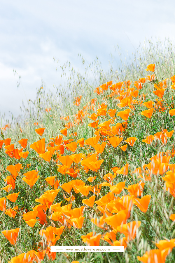 Mt Diablo State Park Spring Poppies and Wildflowers in the San Francisco East Bay in Northern California