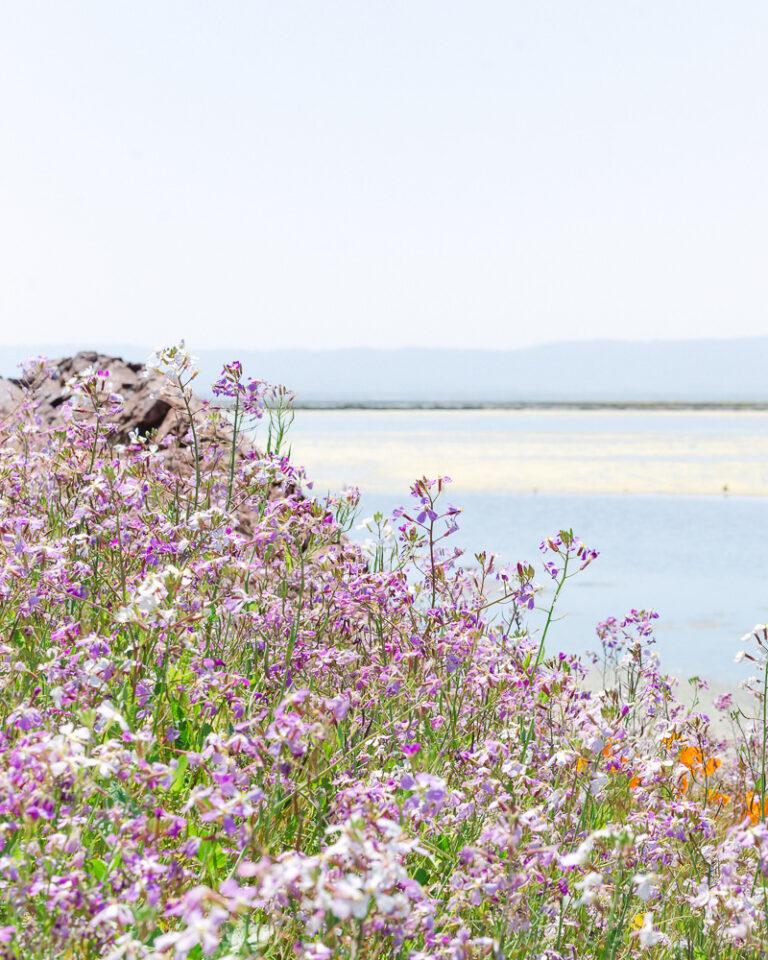 Spring Wildflowers at Coyote Hills Regional Park