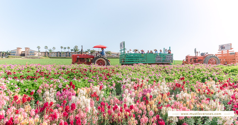The Flower Fields at Carlsbad in Southern California