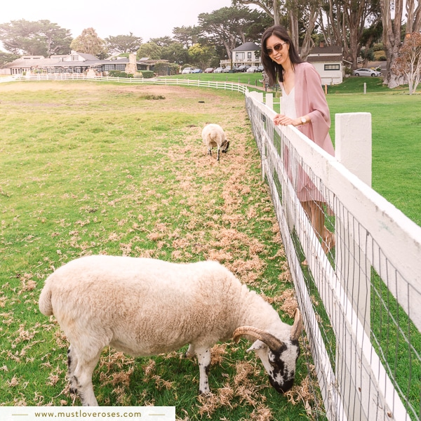 Grazing sheep in Big Sur - Best Spots in Big Sur California