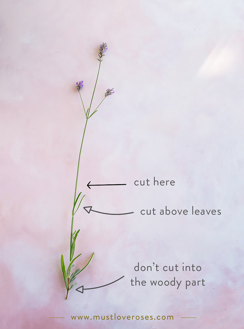 Where to cut lavender - How to Harvest and Dry Lavender