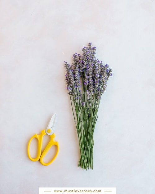 Bundle of lavender and scissors - How to Harvest and Dry Lavender