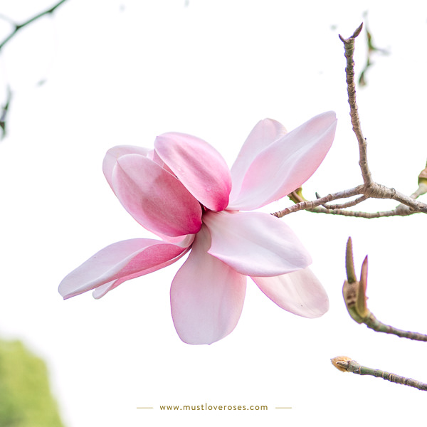 Magnolia Close-up - Best Lens for Flower Photography