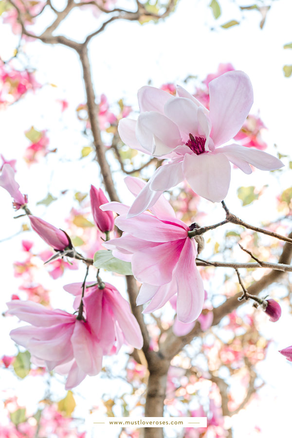 Magnolias - Best Lens for Flower Photography