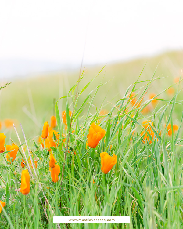 California poppies - Best Lens for Flower Photography
