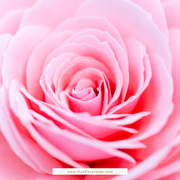 Close-up of rose - Best Lens for Flower Photography