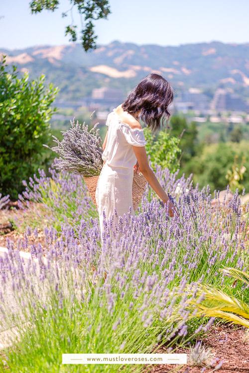 Harvesting backyard lavender - How to Harvest and Dry Lavender