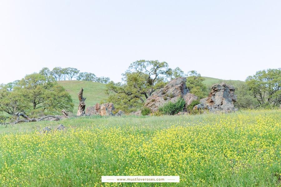 Mustard Wildflowers at Mt Diablo State Park