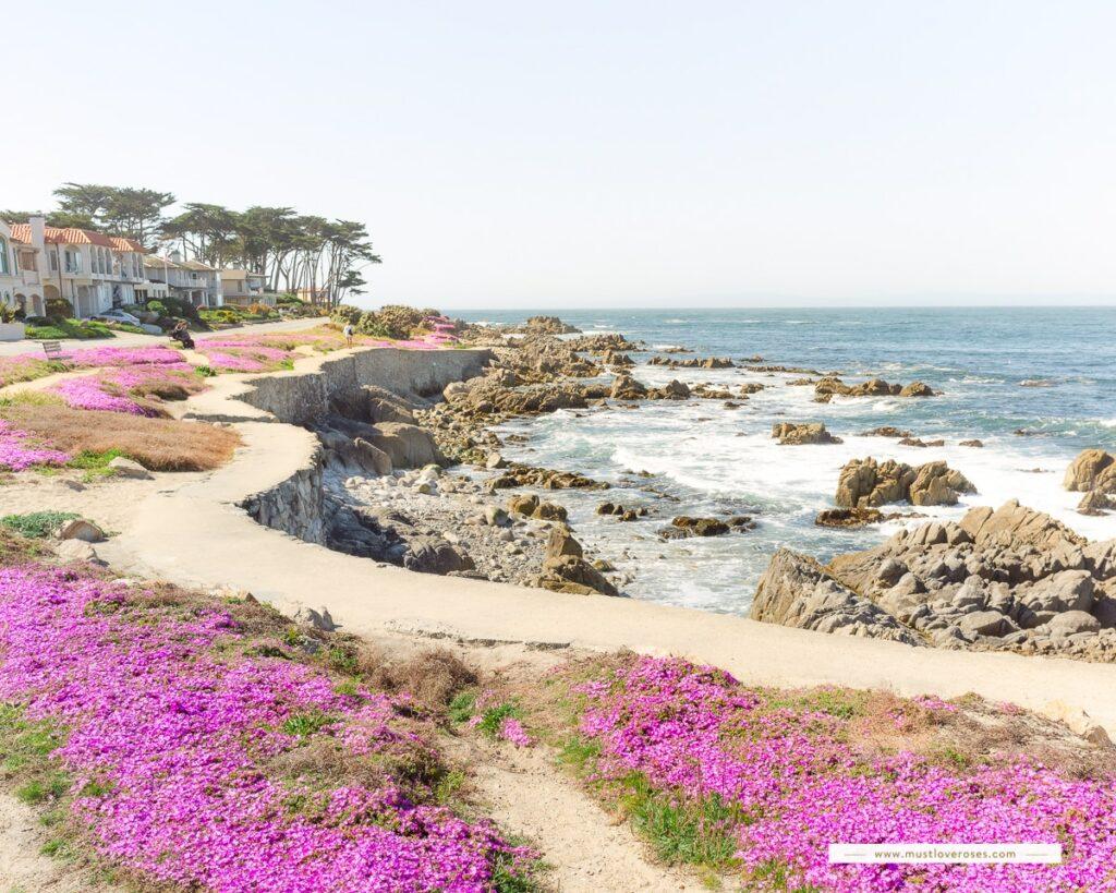 Pacific Grove Magic Purple Carpet next to the California Coast