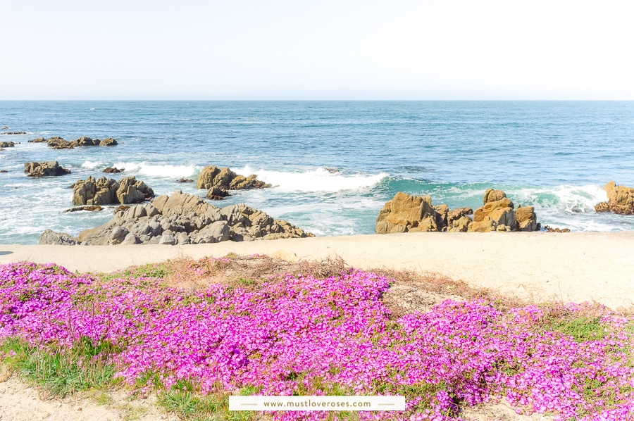 Pacific Grove Magic Purple Carpet in Monterey Peninsula
