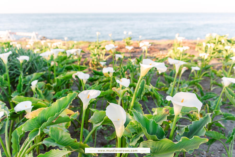 Calla Lily Flowers in Pacific Grove next to Magic Purple Carpet of Flowers