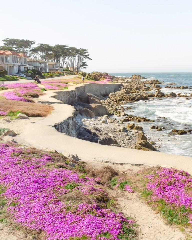 Coastal Trail of the Pacific Grove Magic Purple Carpet in Monterey Peninsula