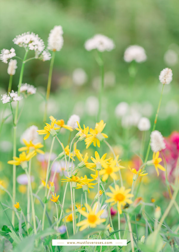 Summer wildflowers at Mount Rainier National Park